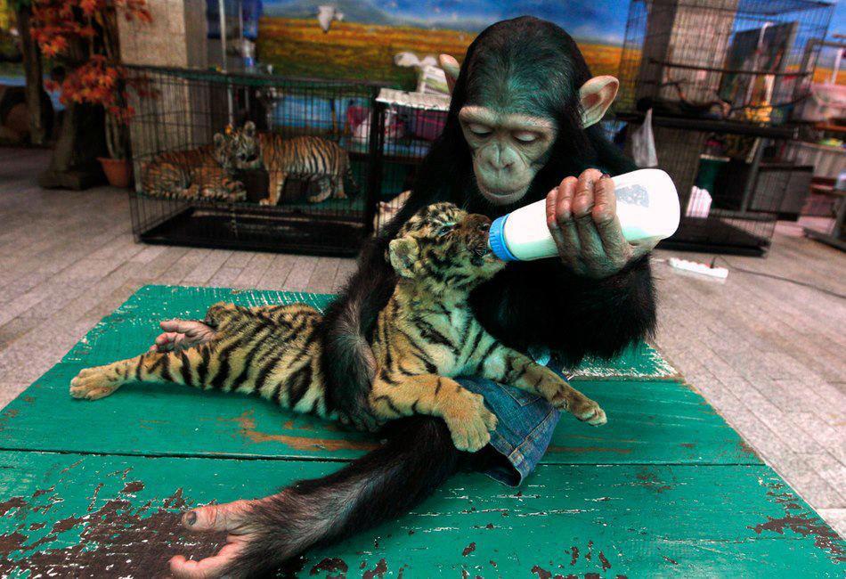 opice-krmi-tygrika